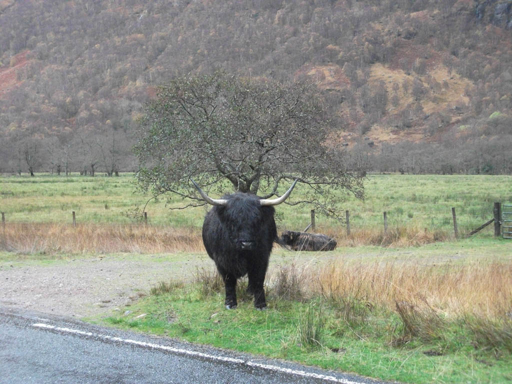 A mysterious Highland Coo!
