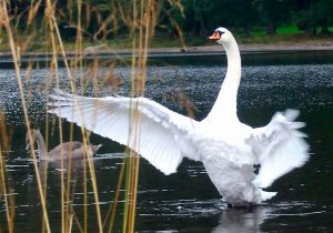 A swan on the world famous Loch Ness!